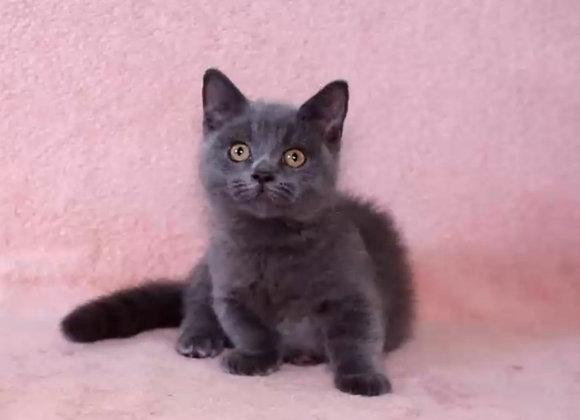 Munchkin Kitten - $1900