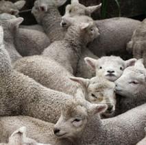 lambsCrunched.jpg