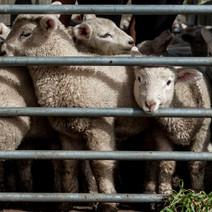 lambsBehindBars.jpg