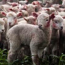 lambsHuddled2.jpg