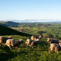 sheepRunning.jpg