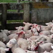 lambsHuddled3.jpg