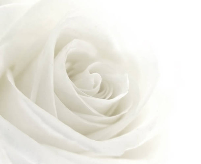 whire rose.jpg