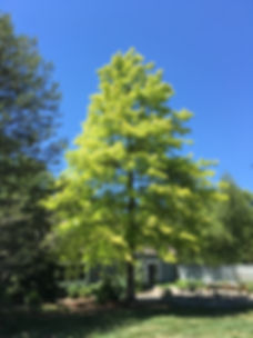 This is a picture of a tree planed by Arbor Knoll LLC