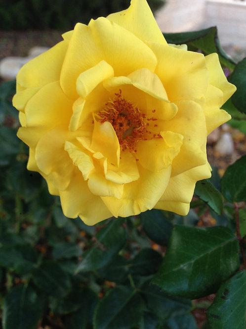 Yellow Rose (Soothing)