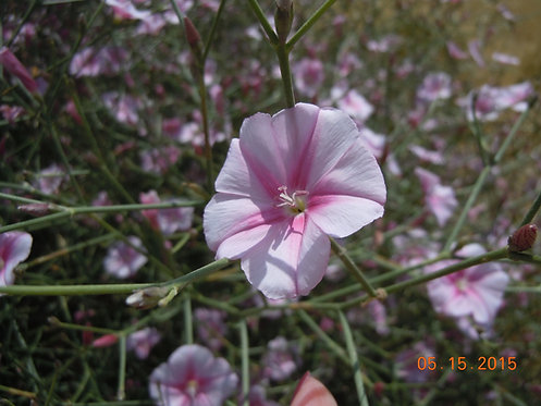 Splendid Bindweed (Magic)