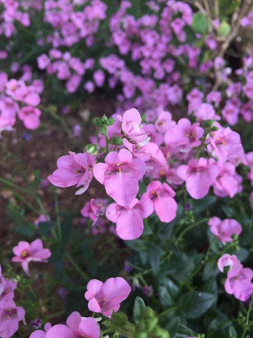 Pink Diascia (Heart Expression)