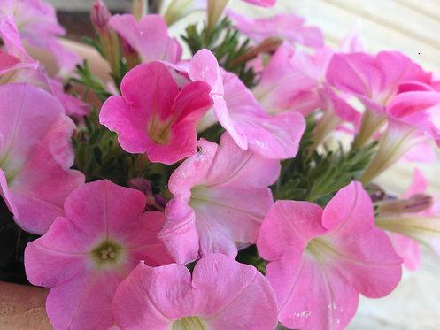 Pink Petunia (Joy)