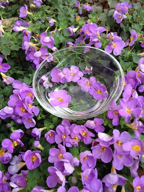 Purple Bacopa (Divine Inspiration)