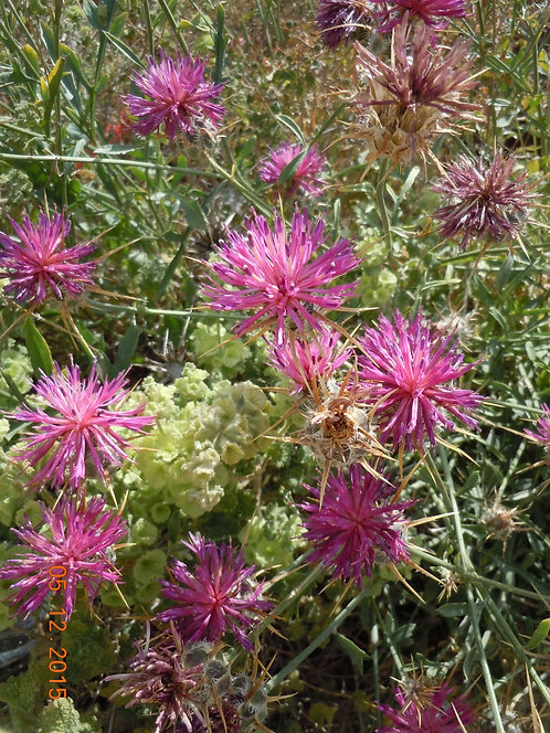 Hot Pink Thistle (Strength to Overcome)
