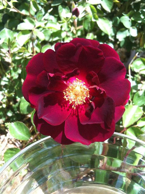 Magenta Rose (Unconditional Love)