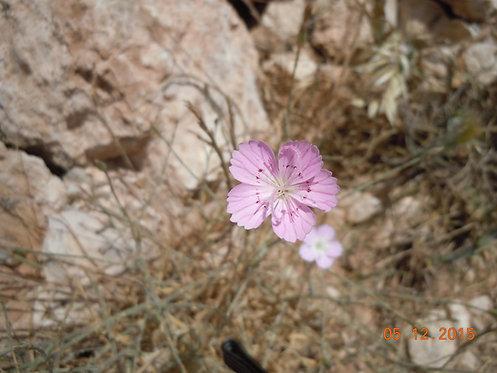 Wild Pink (Calm & Present)