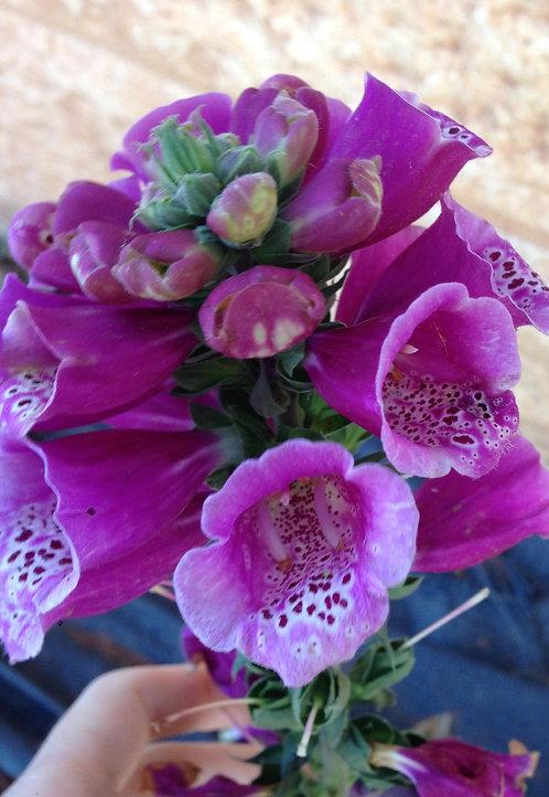 Fuchsia Foxglove (Heart Rejuvenation)