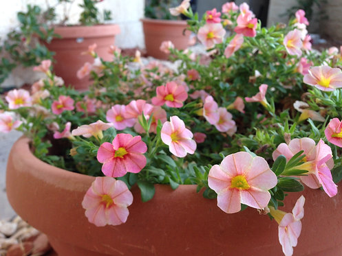 Orange-Pink Mini Petunia (Self-Acceptance)