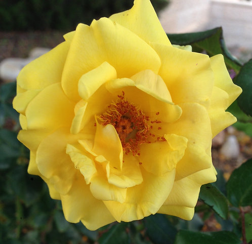 Yellow Rose (Soothing)