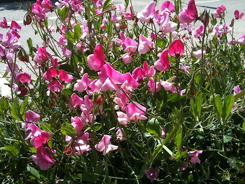 Pink Sweet Pea (Divine Feminine)