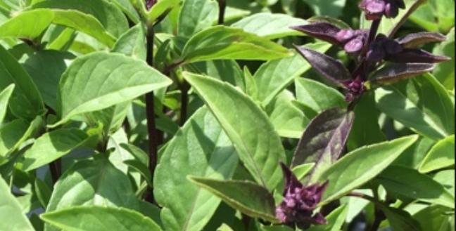 Cinnamon Basil, 50 seeds