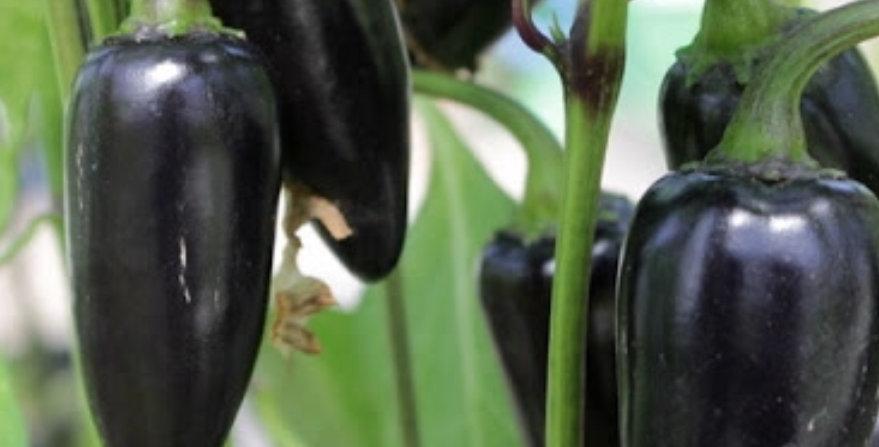 Black Hungarian Pepper, 15 seeds