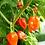 Thumbnail: Orange Habanero, 15 seeds