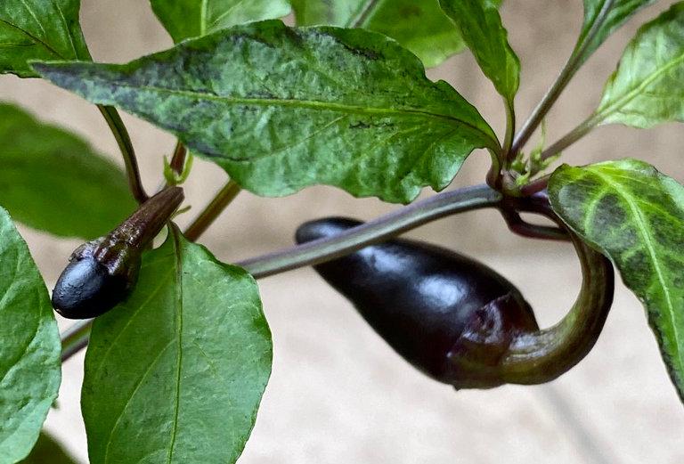 Black Scorpion Tongue, 15 seeds