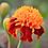 Thumbnail: 'Orange Flame' French Marigold, 30 seeds