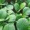 Thumbnail: Spinach Mustard Tendergreen/Komatsuna, 100 seeds
