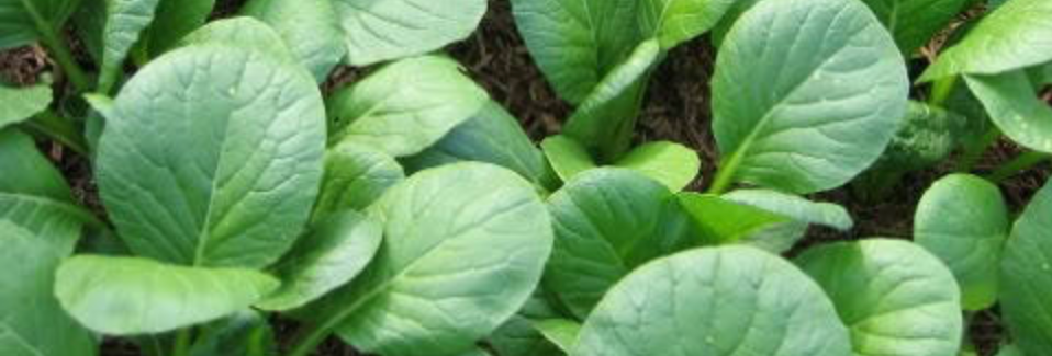 Spinach Mustard Tendergreen/Komatsuna, 100 seeds