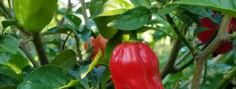 Red Habanero, 15 seeds