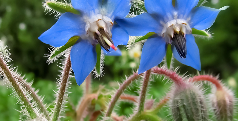 Blue Star Borage, 15 seeds