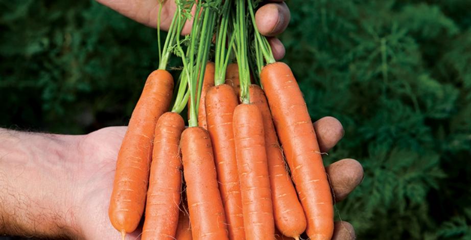 'Little Fingers' Carrot, 50 seeds