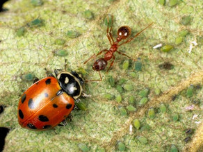 Aphids - Identification, Prevention and Extermination!