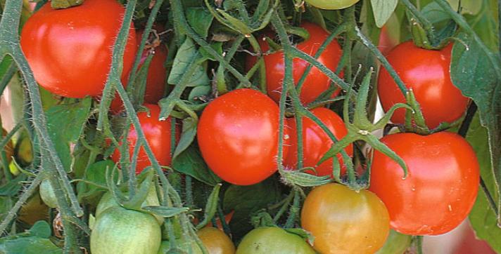 Tomato Tumbler, 15 seeds