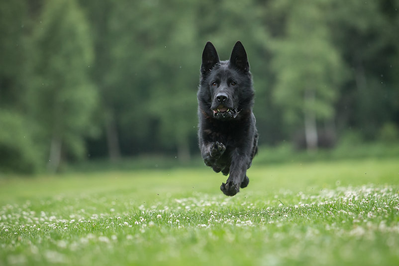 Running black working line german shephe
