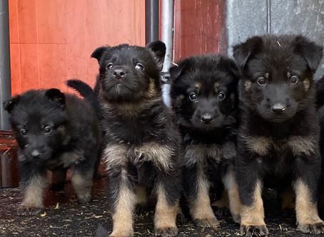 The Greatness of German Shepherds