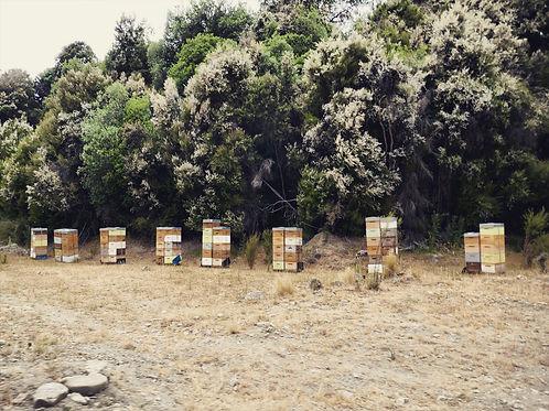 満開のマヌカの樹の下に並べられた蜂の巣箱