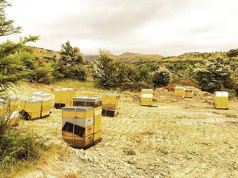 マヌカの木に囲まれた養蜂場に並んだ巣箱