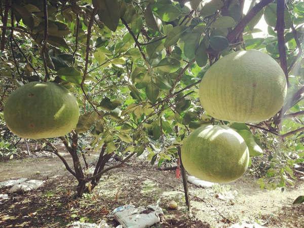 GoChin Pomelo Plantation In Ipoh