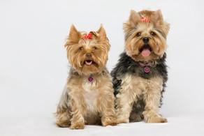 leia este artigo antes de ter um cachorro da raça Yorkshire Terrier!