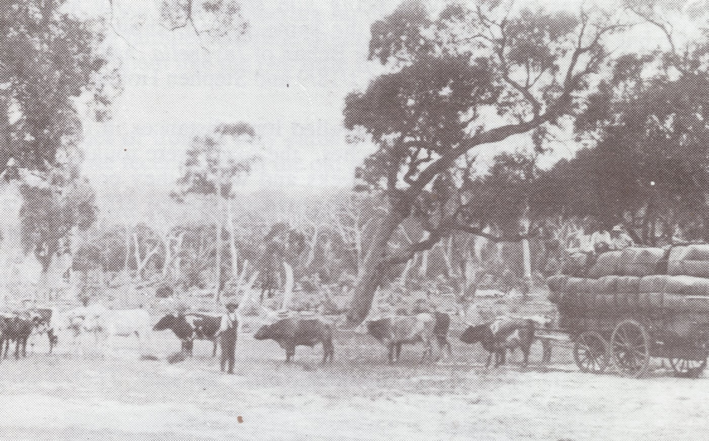Billy Stapleton withhis bullock team