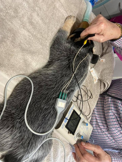 Puppy BAER Hearing Testing
