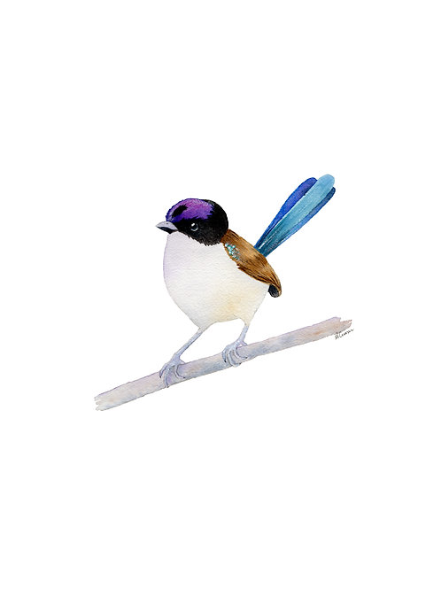 Original - Purple-crowned Fairy Wren