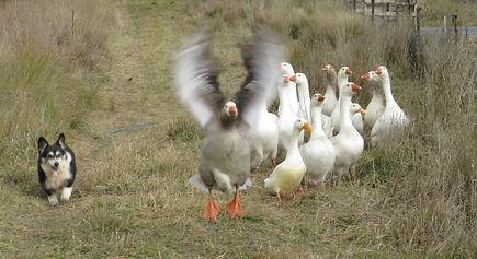 herding2.jpg