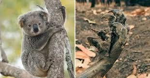Koala in Australian bushfire dies Worldwide Breaking News