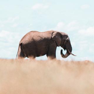 ElephantsTO (1 of 4).jpg
