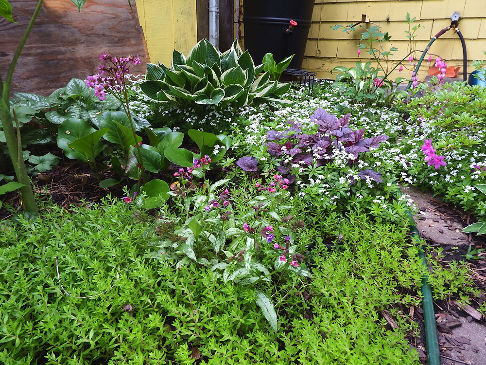 Green sedum, Pulmonaria, Bergenia, Brunnera, Hosta, Sweet Woodruff, Purple coral bell, Bleeding heart, Azalea.