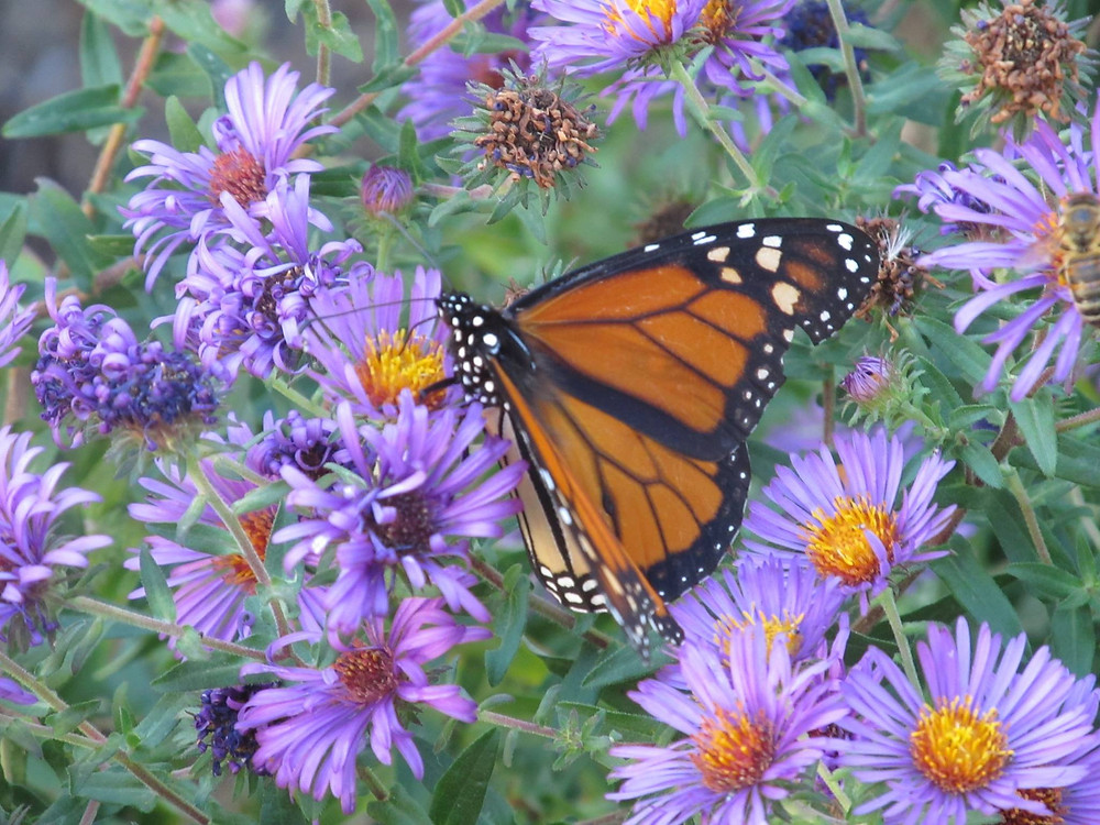 Monarch butterfly on New England Asters.   photo by Jim Zaffiro 2016