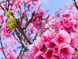 沖縄では桜が満開なのです。