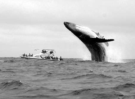 DESFASE: El cortejo de las ballenas en el océano Pacífico.