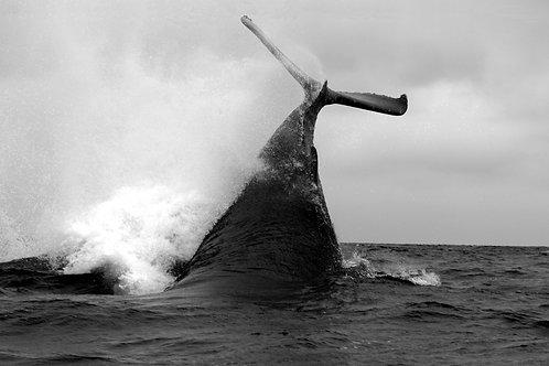 El cortejo de las ballenas