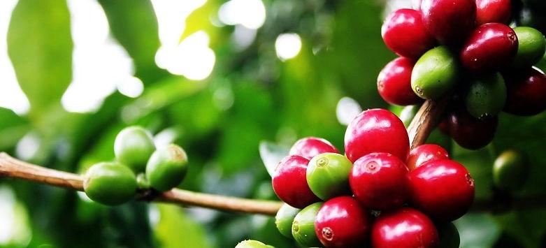 cerises de caféier